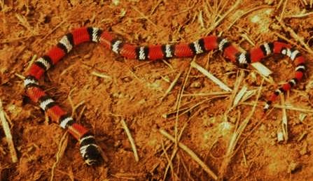 serpiente-coral